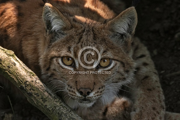 Eurasian Lynx Face Shot Close Up