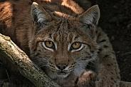 Eurasian Lynx Face Shot Close Up