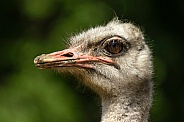 Ostrich close up side profile