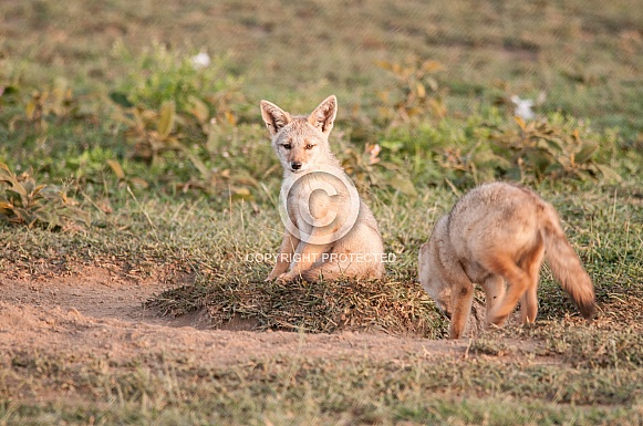 Golden Jackal pups