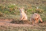 Golden Jackal pups