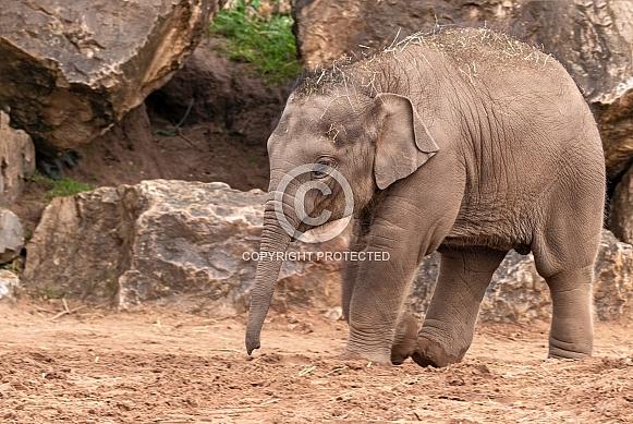 Asian Elephant Calf Full Body Walking