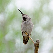 Hummingbird - Immature Costa's