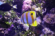 Copperbanded Butterfly fish