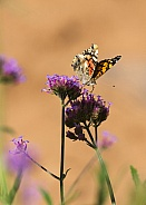 Painted Lady and Verbena
