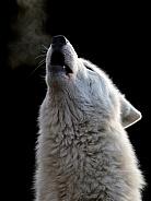 White wolf (Canis lupus hudsonicus)