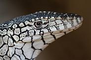 Perentie Monitor Lizard