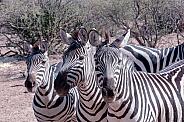 Zebra Trio Portrait