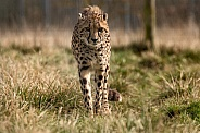 Cheetah Walking Towards Camera