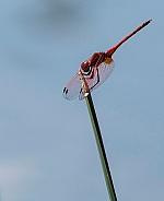 Red Dropwing