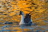 Chinese Goose Swimming
