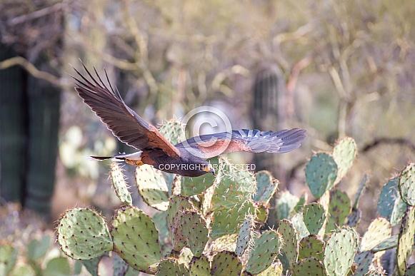 Harris' Hawk in Flight