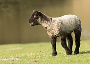 Young Lamb Bleating