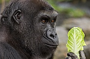 Young Male Western Lowland Gorilla Side Profile