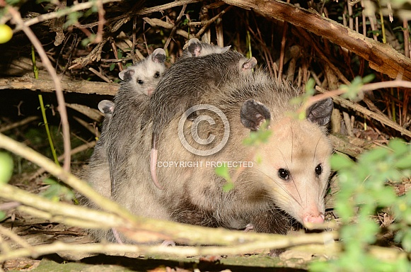 Possum (Opossum)