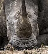 White rhino in Kruger