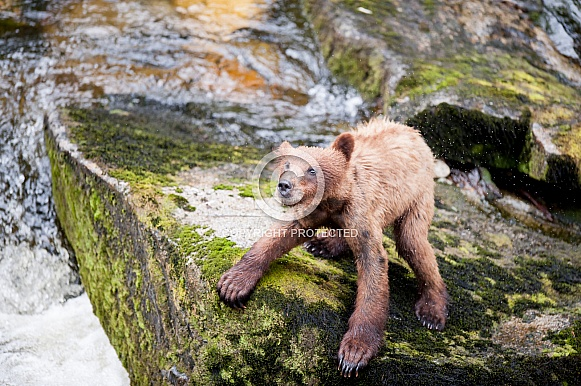 Wild Grizzly bear cub shaking off water in Alaska