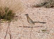 Roadrunner bird in the desert