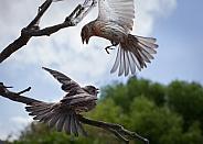 Pair of Fiches (Haemorhous mexicanus)