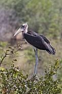 Marabou Stork - Zimbabwe