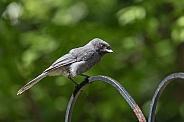 Fledgling Gray Jay