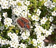 Trichostetha capensis beetle