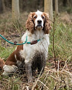 Working Welsh Springer Spaniel