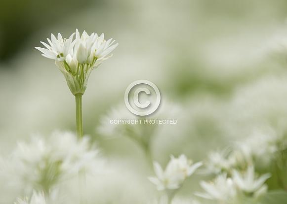 Wild Garlic (Ransoms)