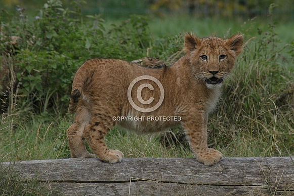 Lion Cub Standing On Log Facing Camera
