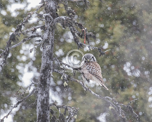Northern Hawk Owl in Alaska