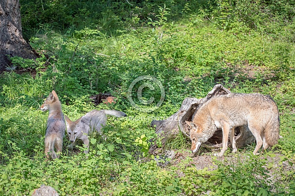 Coyote with Two Pups