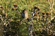Lincoln's Sparrow and Thistles
