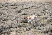 Wild Antelope