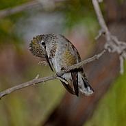 Hummingbird Scratch