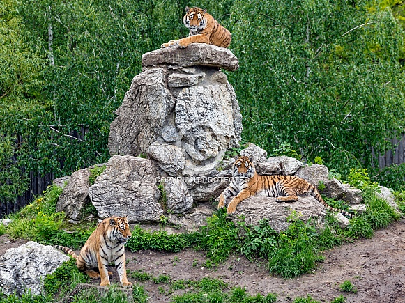 Three Amur Tigers