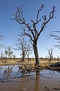 Dead trees - Savuti - Botswana