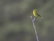 Yellow Warbler Singing for a Mate