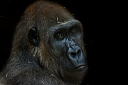 Female Western Lowland Gorilla on Black Background