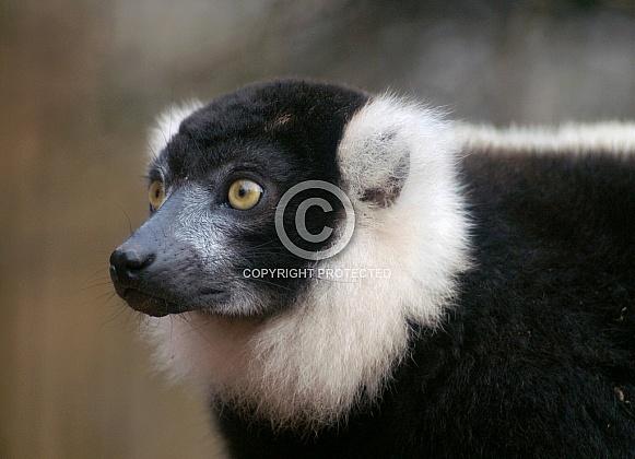 Black and White Ruffed Lemur portrait