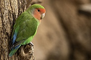 Love Bird Full Body On Tree