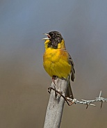 Black headed Bunting