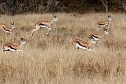Springbok pronking - Namibia