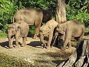 Group of Sumatran Elephants