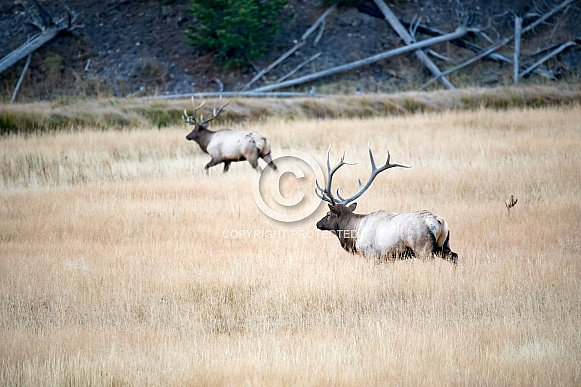 Wild bull elk chasing another male off