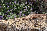 Southwestern Speckled Rattlesnake, Rose Variation