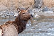 Wild female elk calling for her calf