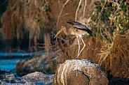 Juvenile Yellow-Billed Stork