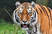 Amur tiger, face shot
