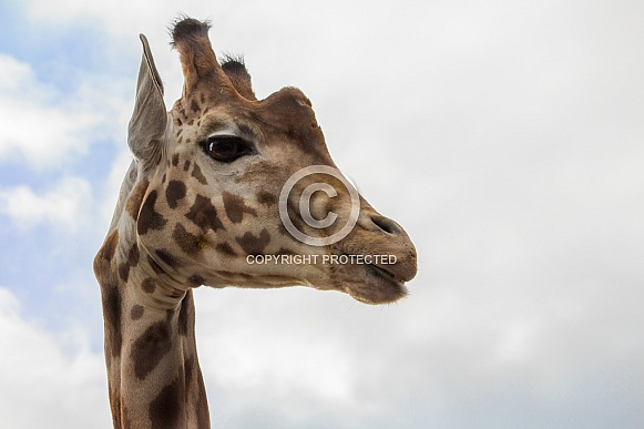 Giraffe looking right, sky Background