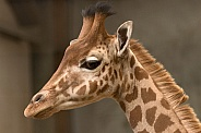 Young Kordofan Giraffe Side Profile